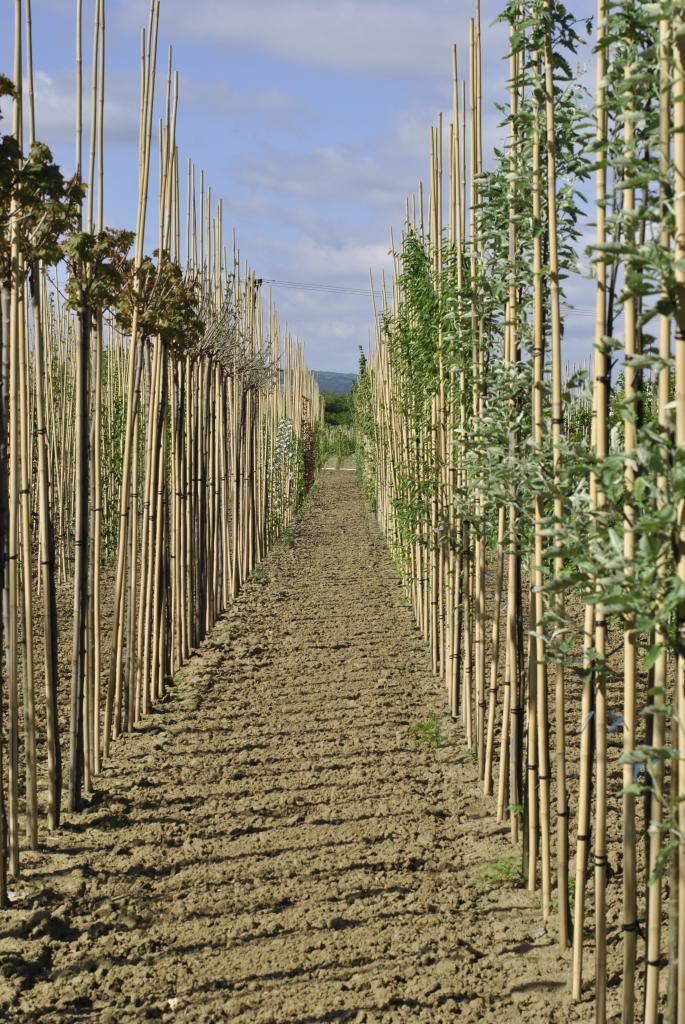 nově naškolkované stromy